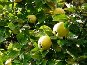 quince-61576_640